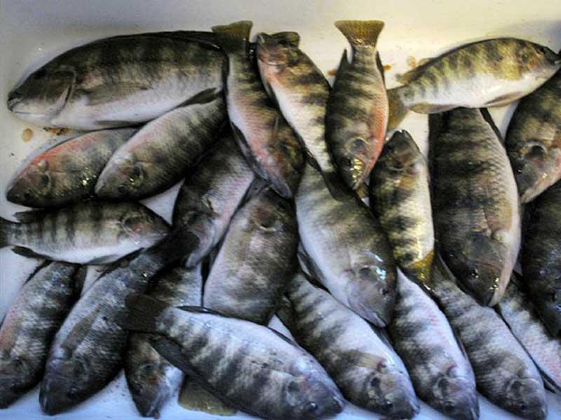 Fish from aquaponics system