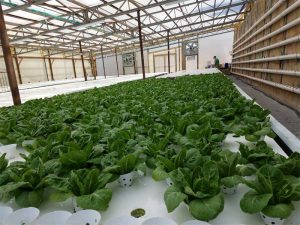 DWC system in commercial hydroponics farm