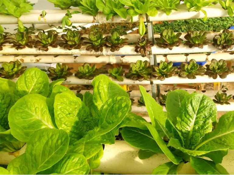Salanova growing in commercial hydroponics farm