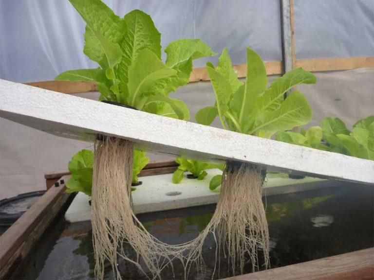 Lettuce growing in DWC hydroponic system
