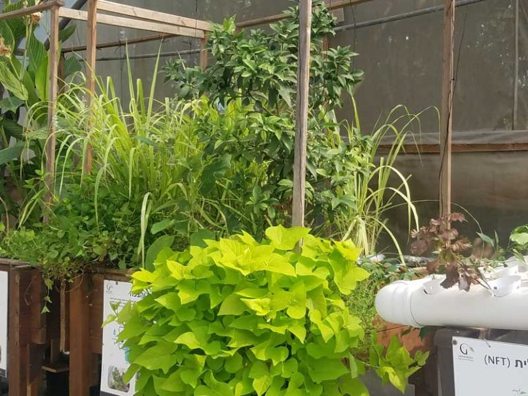 Flood and drain aquaponics system in a greenhouse