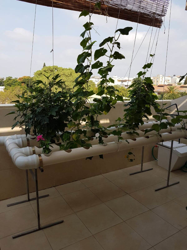 Tomatoes on a balcony hydroponics system