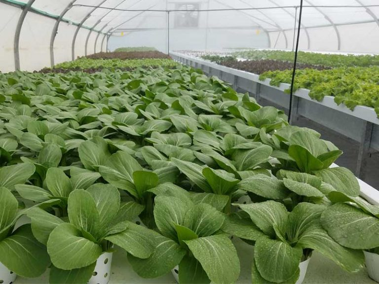 Bok choi growing in commercial hydroponics farm