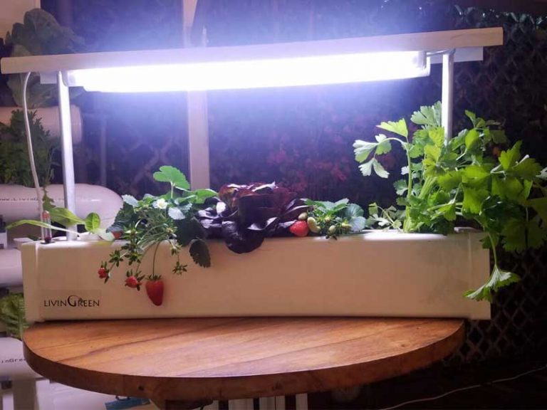 Grow strawberries with indoor hydroponic systems