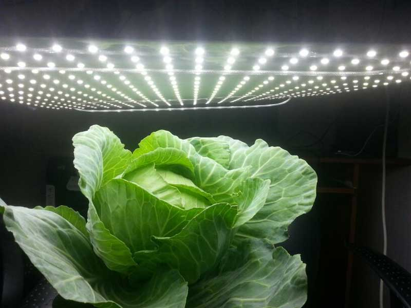 Grow cabbage in your home with hydroponics