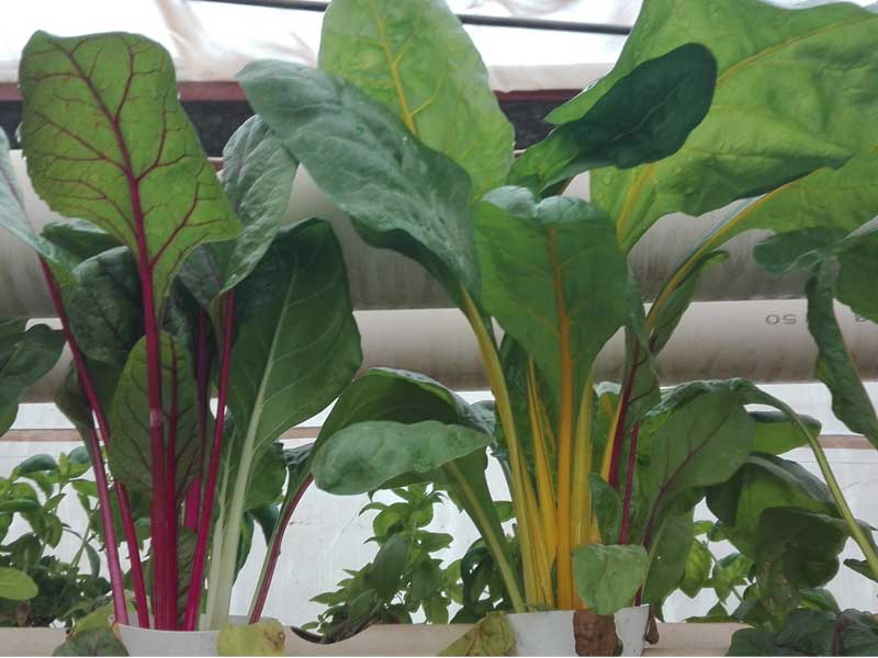 Rainbow chard growing in hydroponics system