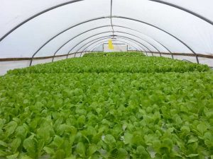 Commercial hydroponics greenhouse