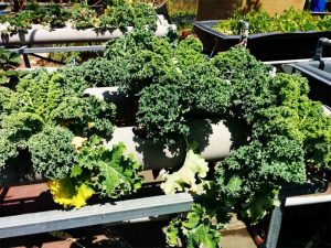 Grown your own kale with hydroponics