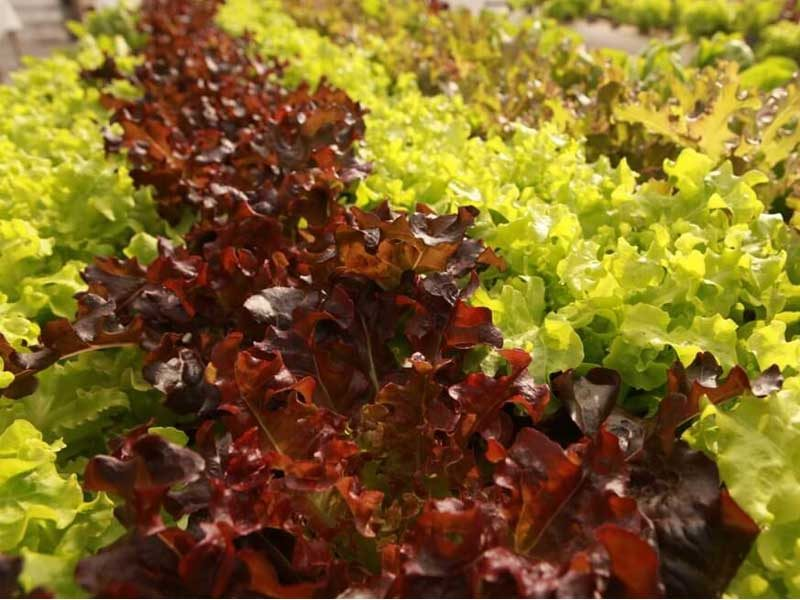 Curly lettuce growing in commercial hydroponics farm